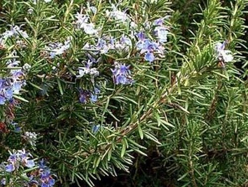 ARP Rosemary Plant - Cold Hardy - Live Plant - 3' Pot