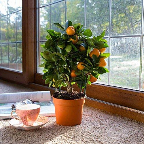 (Mandarin 40 * Ambizu *) 20 + 20pcs Eßbares Obst Mandarin Bonsai-Baum-Samen, Citrus Bonsai Mandarine Seeds