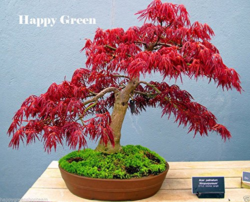 graines de plantes en pot graines Bonsai Red MAPLE JAPANESE Acer Palmatum Atropurpureum Arbre Graines FRESH 20PCS W054