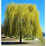 PAPCOOL Weeping Willow Tree - Golden Weeping Willow 8' - Great for Bonsai