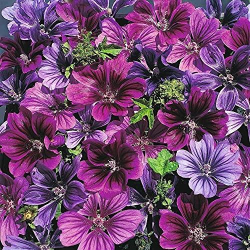 200 Stücke Purple Hollyhock Seeds Exotische dekorative Blumen für den Innenbereich Einfache Samen für mehrjährige Kultivierung Lange Blütezeit während des ganzen Jahres