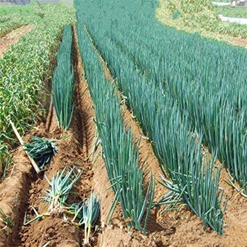 100 pcs/sac géant graines d'oignon vert légumes Semences biologiques ingrédients de cuisine plante en pot bonsaï pour le jardin à la maison facile à cultiver