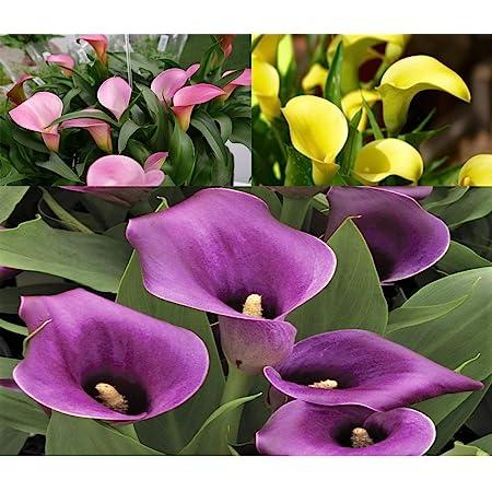 Daisy Garden Rare Calla Lily Seeds Flower Seeds Bonsai Potted Plant Perennial Flowers