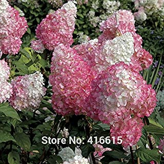 Hydrangea Seeds Hydrangea paniculata Vanilla Strawberry Seeds Naturia Hydrangea Macrophylla Home Garden White Flower Bonsai Seed