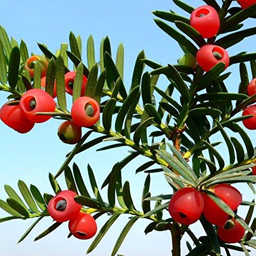 KimcHisxXv Englische Eibe Samen, 10 St¨¹cke Taxus Baccata Samen Englische Eibe Rote Frucht Bonsai Hausgarten Dekor - Englische Eibe Samen