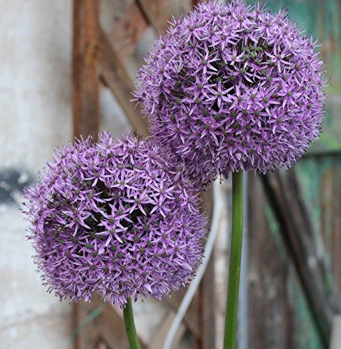 5 Riesen Allium Gladiator Zierlauch großblumig Blumenzwiebeln