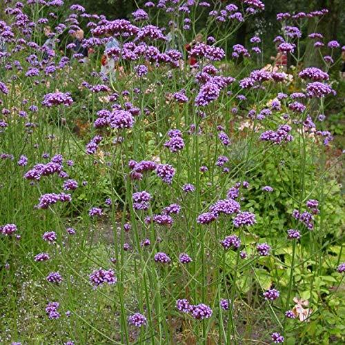 Semillas de Verbena o Hierba Sagrada 250 Semillas de Verbena Officinalis