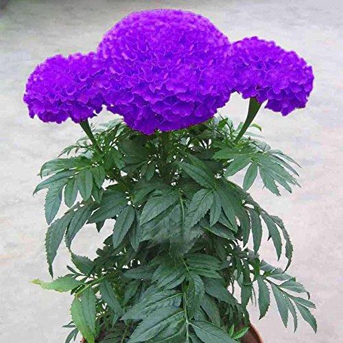 Tangbasi 100 Stks Paars Goudsbloem Bloem Zaden voor Tuinpotten Planten