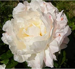 1 in Gallon Pot Shirley Temple Peony Pale Pink Flower 3-5 Eye Established Plant DP02