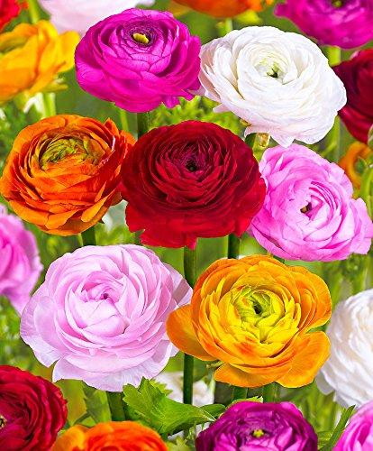 10 bulbos de Ranunculus en mezcla - Bulbos de flores de ALTA