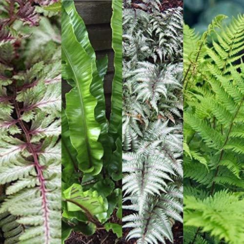 3 x Fern Collection Mix - Hardy Varities and Colours - Athyrium - Asplenium Plants