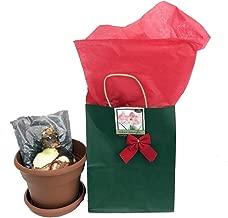 Spotlight Dutch Amaryllis Bulb Kit - Gift Box, Large Bulb, Pot/Saucer, Soil