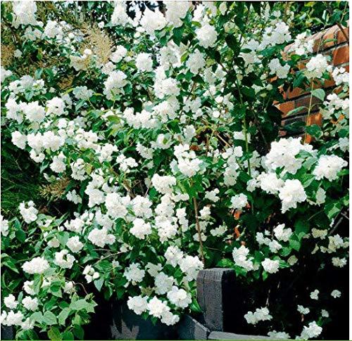 Acecoree Samen- 100 Stück Selten Winter Jasmin Samen Blumen Saatgut Gefüllter Duftjasmin winterhart mehrjährig bienenfreundliche für Balkon/Garten