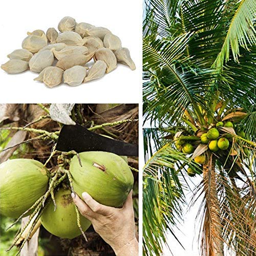 Buffyin 20 Pcs Kokosnuss Baum Samen Riesig Wunder Fruit Tree Hoch Nutrition Juicy Früchte Samen