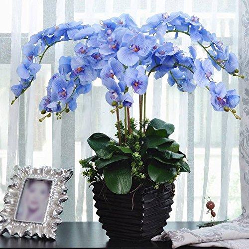Rosepoem Usine de bonsaï Graines d'orchidée papillon Bleu 20 PCS