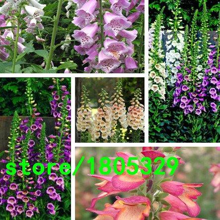 200 Pcs / Sac, Foxglove Graines, Digitalis purpure, Indoor Seed / Pot d'extérieur Germination taux de 95% Couleurs mélangées