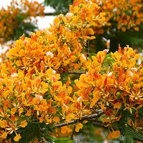 Delonix Regia Yellow Flamboyan Royal Poinciana Rạre Bónsai TrẹE SéẹD 20 SéẹDs Seeds_Easy_Grow