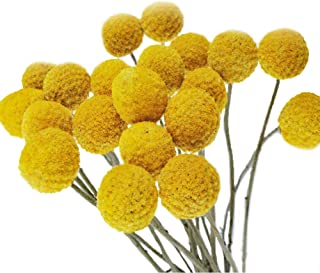 Color Life 40 Stems Natural Dried Flower - Craspedia/Billy Balls,20in