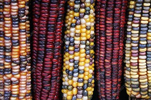 20pcs/sac noir rouge jaune corns graines de légumes graines de fruits jardin de bonsaïs semences potagères pour plantes maison noir