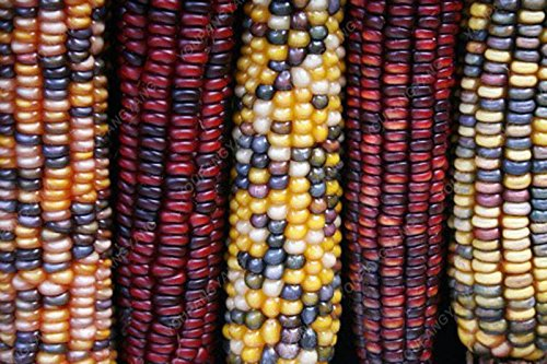 20 doux arc-en-maïs Semences de maïs grains colorés Céréales Graines de haute qualité des légumes pour jardin Facile à cultiver Livraison gratuite Blanc