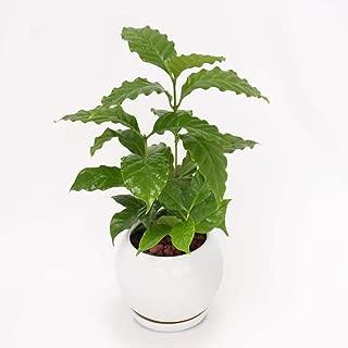 イイハナ・ドットコム 観葉植物 コーヒーの木