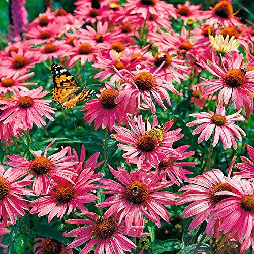 Yukio Samenhaus - Raritäten Roter Zwerg Sonnenhut Blumensamen winterhart mehrjährig als Rand- oder Kübelbepflanzung