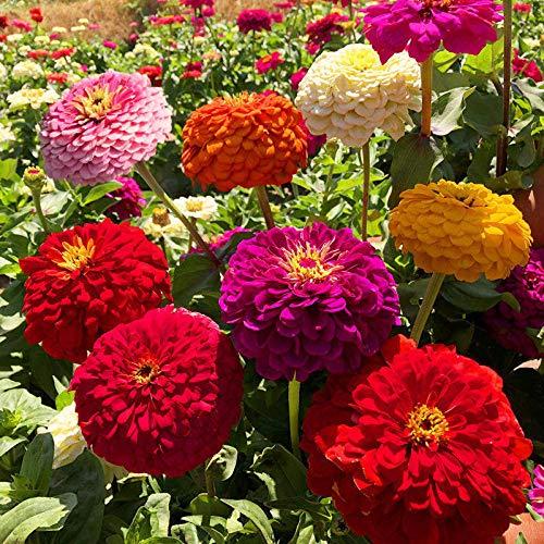 Cosmos Flower Seeds Gesang Flower Seeds Bunte vier Jahreszeiten Blüte Easy Living Blumensamen Outdoor Wildflower Seed 300 Kapseln-300 Zinnia Seeds_Bestellen Sie nach Bedarf