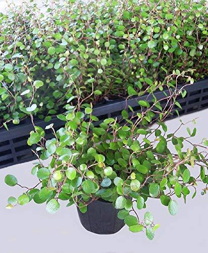 ワイヤープランツ 12ポットセット(3号) 観葉植物 苗 セット販売 まとめ売り