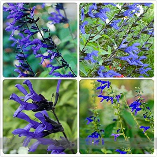 (B & B D * Ambizu *) 'Black and Blue' Salvia Sage guaranitica vivace/Graines de fleurs annuelles, Paquet professionnel, 30 graines