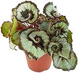 Begonia 'Princess of Hannover' - die Blattbegonie mit außergewöhnlichen Blättern, als exotisches Zimmerpflanze ein 'Eyecatcher' auf jedem Fensterbrett - eine ganz besondere Begonie