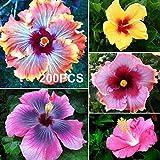 good01 200 Piezas De Semillas De Plantas Ornamentales, Semillas De Flores De Hibisco Para Crecer Balcón Decoración De Jardín De Oficina De Bonsái Amarillo Semillas de flores de hibisco
