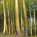 Pinkdose 20 UNIDS Gigante Amarillo planta de bamb Rare Moso Bamboo Bambu Bambusa Lako Ãrbol Para la plantacin de jardn en casa