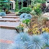 200 Piezas De Semillas De Hierba De Festuca Azul Jardín Ornamental Perenne árbol De Ceniza Bonsai Bonsai Semillas de festuca azul 200 piezas