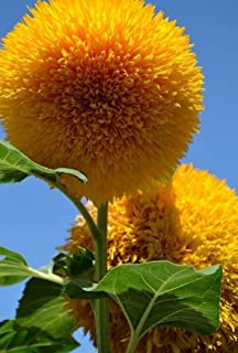 Teddy Bear Sunflower Seeds for Planting(100 Seeds)