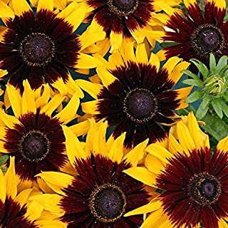 Best rudbeckia hirta solar eclipse Reviews
