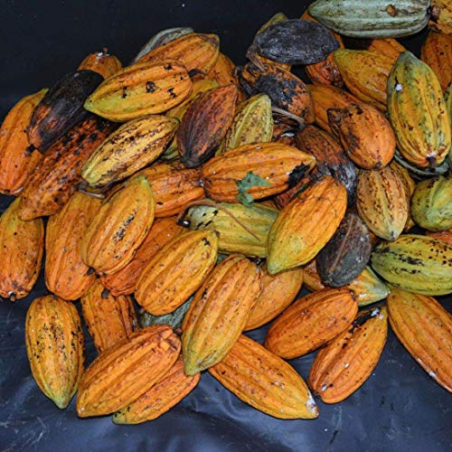 ASTONISH Semi Pacchetto: 40Pcs Cacao Frutta Seedsss 100% di germinazione semi freschi giardino domestico di Semi