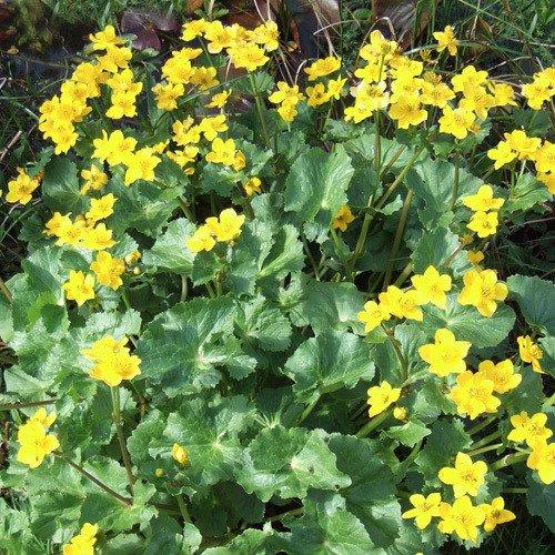 Plant World Seeds - Caltha Palustris Seeds