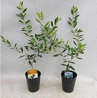 オリーブ 苗木 ネバディロブロンコ&ミッション 2種(本)セット 樹高約40㎝ 3号ポット