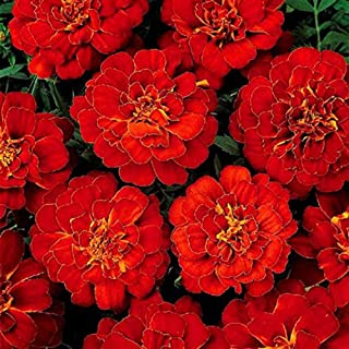 1000 Red French Marigold Seeds Tagetes Patula Flower Seed Herb Seeds Home Garden Decoration Potted Heirloom Beautiful Fragrant Bonsai Flowers Plants