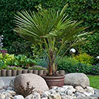 The ideal palm for growing in the UK Centrepiece for any garden Tough, fan-shaped green leaves on a long woody trunk, formed over time Supplied as an established potted plant, already approximately 60-70 cm tall Hardy to at least -10 Celsius 60-70 cm...