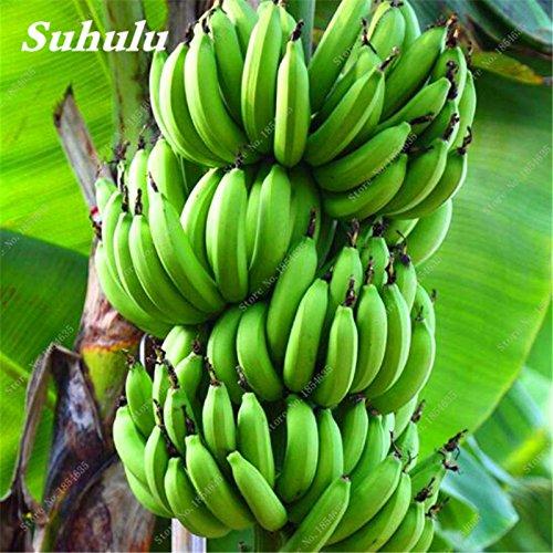 100 Pcs/sac Graines de bananes, graines non-OGM Bonsai arbres fruitiers, délicieux extérieur vivace fruits Graines de maison et de jardin Plantes