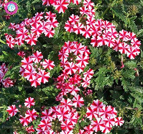 Graines de Purple rares 50pcs Verveine, Verveine HORTENSIS, Verveine Hybrida Rare Bonsai Graines de fleurs Plantes d'intérieur Balcon pour jardin 1