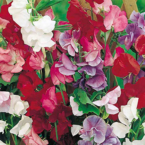 Portal Cool Suttons Seeds Sweet Pea Jet Set Mix