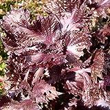 Perilla, semillas de Shiso - Perilla frutescens