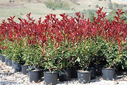 Photinia X Fraseri RED ROBIN (fotinia) vaso 19 cm