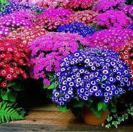 150pcs / sac mélangé des fleuristes de couleurs cinéraire semences pour le jardin de la maison DIY