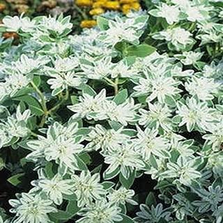 Snow on The Mountain- Euphorbia Marginata- 25 Seeds