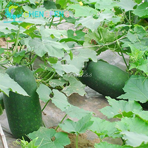 20pcs super Big Winter Melon Seeds Chine High Yield pastèque géant Winter Melon Vegetable Seed Livraison gratuite Jardin des Plantes
