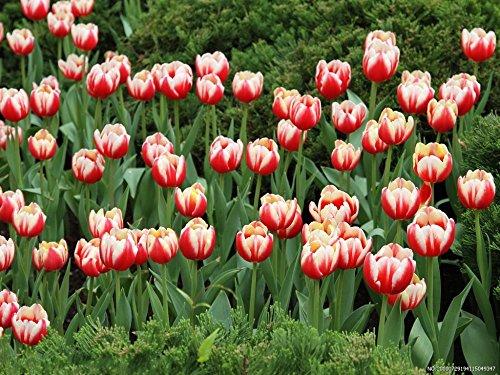 100pcs / Graines sac Bonsai Tulip rares graines rouges et blanches pétales de fleur de tulipe Plantes vivaces jardin en pot