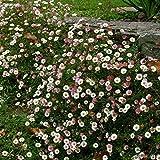 6 x Erigeron Karvinskianus - Spanisches Gänseblümchen...